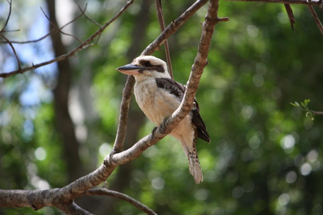 Kookaburra sitting in old gum tree